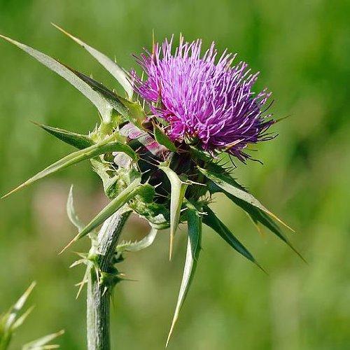 Onopordon - acanthium Scotch Thistle - 25 Samen