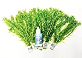 Oxygenating elodea plant, for ponds or all types of freshwater tropical aquariums, x5 bunches, supplied with our new electroband bottle to speed up and promote healthy root growth