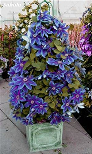 100 Pcs Clematis Graines de plantes Belle Paillage Graines de fleurs Bonsai ou un pot de fleurs vivaces pour jardin Mix Couleurs 9