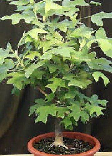 Tropica - Bonsai - Tulpenbaum (Liriodendron tulipifera) - 20 Samen