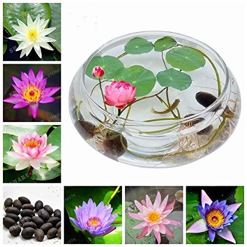 Shoopy Star 7: 100 Pcs japonais Bonsai Plantes en pot Helleborus Graines Accueil ExtÃrieur Jardin RÃgime