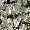 Polster - Phlox (Phlox subulata 'Alba') von Lichtnelke Pflanzenversand auf Du und dein Garten