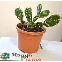 Pianta Grassa Opuntia Microdasys, Vaso 20cm, Altezza 50/60cm