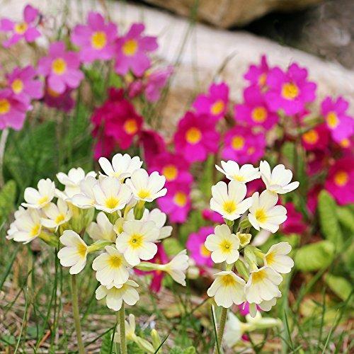 Primrose Crescendo Mix Samen, Primula Schlüsselblume