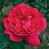 André Eve - Rosier Tess Of The D'Uberville Ausmove - Pot 5 Litres - Couleur : Rouge