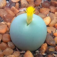 Conophytum calculus - Lithops - Lebende Steine - 10 Samen