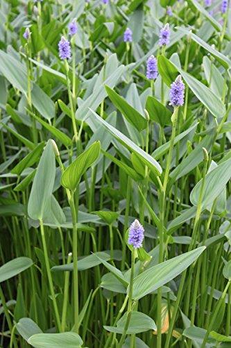 fertig-im-pflanzkorb-pontederia-lanceolata-lanzettblattriges-hechtkraut-riesenhechtkraut-blau-wasser
