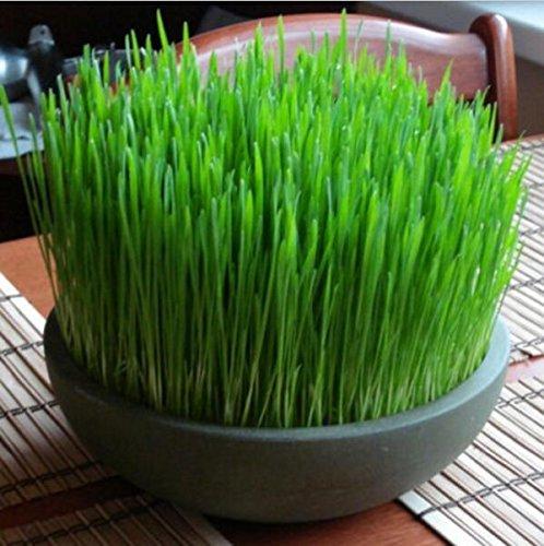 Les petites graines chats bonsaï cataire de la paille de blé, graines de semences de blé de blé bonsaï dans son emballage d'origine, les graines chat herbe 100 B543