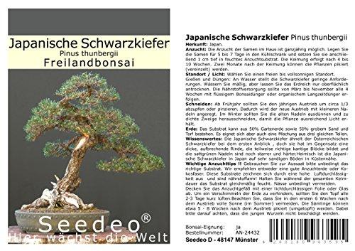 Seedeo Bonsai Geschenk – Set Japanische Schwarzkiefer (Pinus thunbergii)