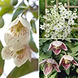 Evergreen Clematis Plant collection - Pack of 3 varieties in 9cm pots