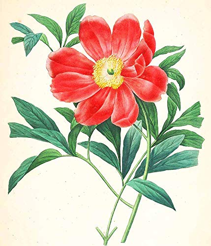 JH Lacrocon Pierre-Joseph Redoute - Paeonia Officinalis Mas Leinwandbilder Reproduktionen Gerollte 45X50 cm - Blume Gemälde Gedruckt Wandkunst