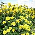 Stauden- Sonnenblume (Helianthus decapetalus 'LODDON GOLD') von Lichtnelke Pflanzenversand bei Du und dein Garten