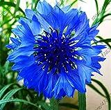 AGROBITS piante 100pcs Fiordaliso rari blu piante di fiori di crisantemo Interni Esterni piante in vaso bonsai giardino domestico di DIY facile crescere
