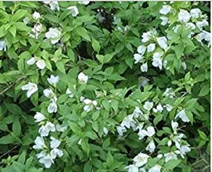 PHILADELPHUS SNOWSTORM 1 LTR Shrub Plants