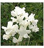 FLOWER SWEET PEA ROYAL FAMILY WHITE 70 FLOWER SEEDS