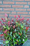 Plantenwelt Wiesmoor Nain ? Brillance Cotoneaster franchetii feuillage persistant Photinia fraseri Little Red Robin 40?60 cm dans conteneur de culture 3 l