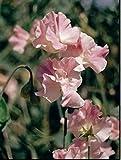 Blumen Kings Saatgut bebildertes P ckchen Sweet Pea Mrs Bolton 20 Samen
