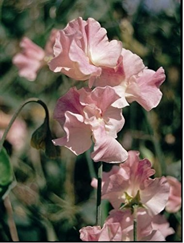 Galleria fotografica Fiore - Kings Seed - Confezione Multicolore - Pisello Odoroso - Mrs Bolton - 20 Semi