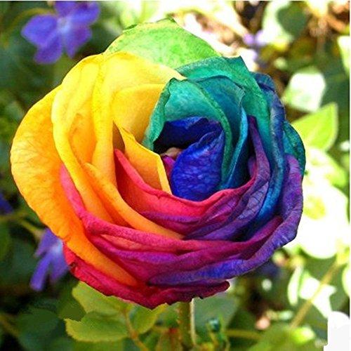TOPmountain Graines de Fleurs colorées Rainbow Rose 100 pcs Jardin de Jardin Belles graines de Plantes ornementales