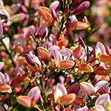 """Cytisus praecox """"Zeelandia"""" (Ginestra) [Vaso Ø17cm]"""