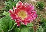 Viel Loved Gerbera Jamesonii 20, Zierpflanzen Barberton Daisy Samen, Weithin kultiviert Transvaal Daisy Samen