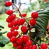Lonlier Semillas de Goji 10/20/50pcs Semillas Frutas para Jardín Huerto semillas raras