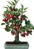 TROPICA - Bonsai - Nagasaki-Apfelbaum (Malus baccata var. Mandshurica) - 35 Samen