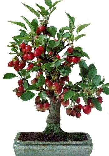 TROPICA - Bonsai - Nagasaki-Apfelbaum ( Malus baccata var. Mandshurica ) - 35 Samen