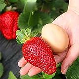 Wekold Riese Erdbeere Fruchtsamen - 100 Samen Garten Obst Pflanze Köstliche Riesen Maximus Strawberry Seeds