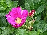 5 Stück Rosa rugosa * (Apfelrose) Blütenpflanze, Blütengehölz, Blütenhecke * , Topf 3 Liter 40-60 cm