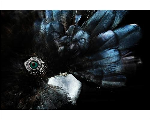 photographic-print-of-the-endangered-red-tailed-black-cockatoo-australia