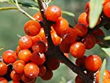 Portal Cool Sanddorn Seed Essbare Alternativmedizin Salztolerante Hippophae Rhamnoide