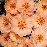 NEU! 50+ SUNDIAL PEACH PORTULACA MOSS ROSE SEEDS ANNUAL Bodendecker Blumensamen