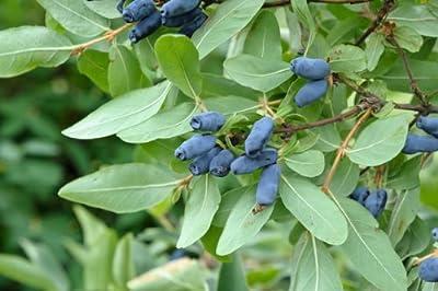 Lonicera kamtschatika, Honigbeere, 1,5 Liter Topf, 1 Pflanze von Amazon.de Pflanzenservice - Du und dein Garten