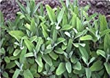 Erbe - Salvia - Salvia officinalis (Blu)...