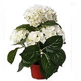 Shophaus24 Künstliche Hortensie creme getopft - Hortensienpflanze. H 36cm.
