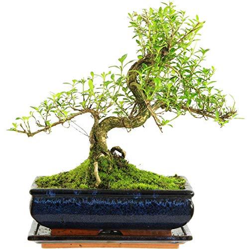 Junischnee, Bonsai, 11 Jahre, 34cm