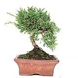 Enebro chino, Juniperus chinensis, bonsái para exterior, 8 años, altura 17 cm
