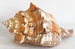 DollsofIndia Decorative Sea Shell - Shell