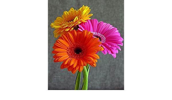 Perennial Seeds Blue Gerbera Daisy Seeds Home Garden Herb Bonsai Plant Seeds Dl0 01 Home Garden