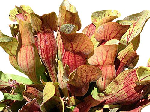 Rote Schlauchpflanze (Sarracenia purpurea) 10 frische Samen ***Direcktimport Kanada*** -Winterhart-