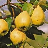 Birnenquitte Cydora-Robusta - Quittenbaum Obst Baum Neuzüchtung - Quitten-Pflanze für