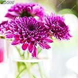 IDEA HIGH Seeds-ZLKING 100pcs Chinesischer Regenbogen Aster Bonsai Seltene Mehrjährige Mehrjährige Einfach Wachsen Callistephus Herrliche Chrysanthemen Blumen: 15