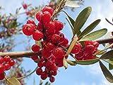 15Silber Buffaloberry (büffelbeeren laubkäfer) Samen Tree Seeds combsh