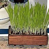 Kit de hierba para gato 'Wengué'