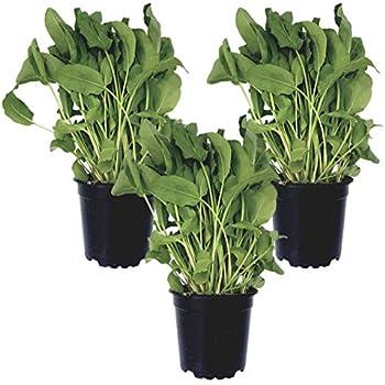 3 Sauerampfer-Pflanzen gr/ün//frische Pflanze im 12 cm Topf kr/äftige Kr/äuterpflanze in bester G/ärtnerqualit/ät