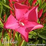 Oleander 'Italia' - Nerium oleander - Größe C01