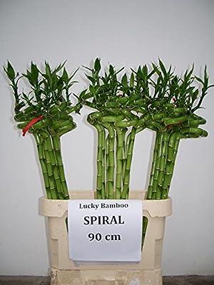 10 stück lucky bamboo Glücksbambus Dracaena Sanderiana 50cm lang +/-(