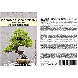 Seedeo Japanische Schwarzkiefer (Pinus thunbergii) Freilandbonsai 30 Samen