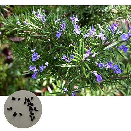 500 pezzi semi di piante di rosmarino pianta in vaso semi di piante da giardino fai da te vegetali semi di ortaggi
